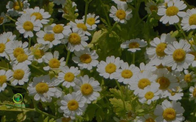 planta santa maria para tratar infeccion en los ojos