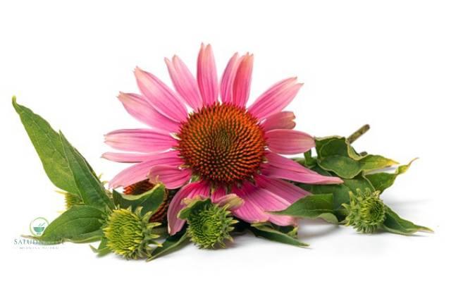 flor de equinacea para tendinitis
