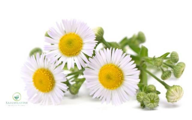 flor de manzanilla para vulvovaginitis